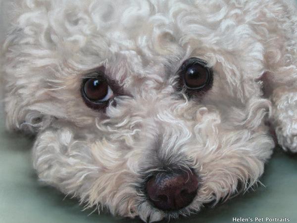 bichon frise pastel pet painting small white dog