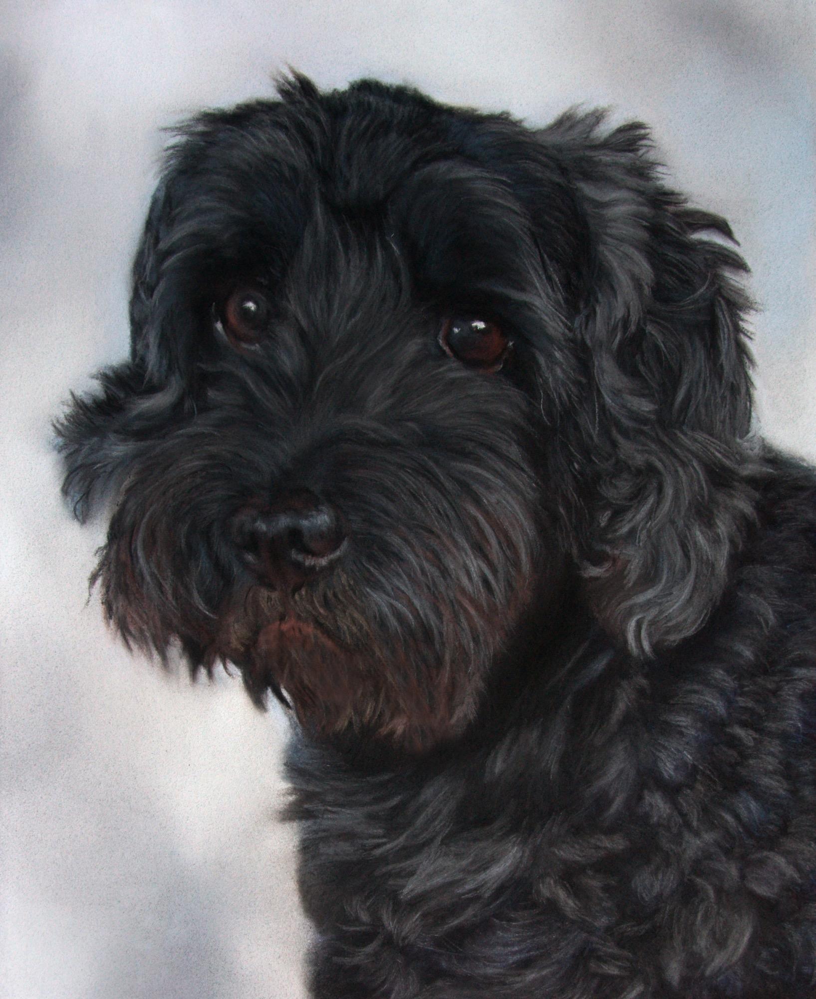 black curly dog cockapoo against blue grey background
