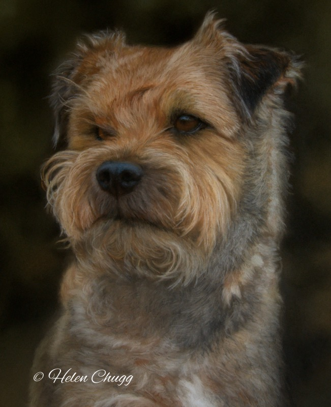 border terrier breed of dog portrait painting in soft pastels