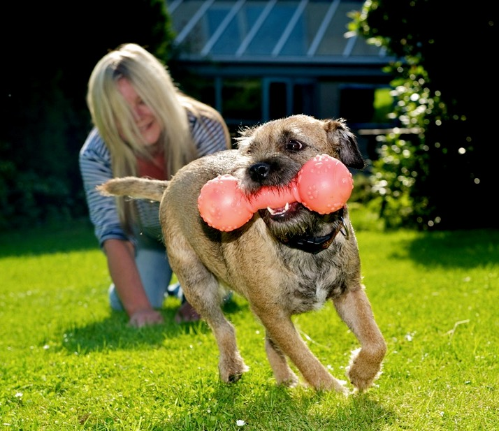 border terrier dog playing in the garden with a toy