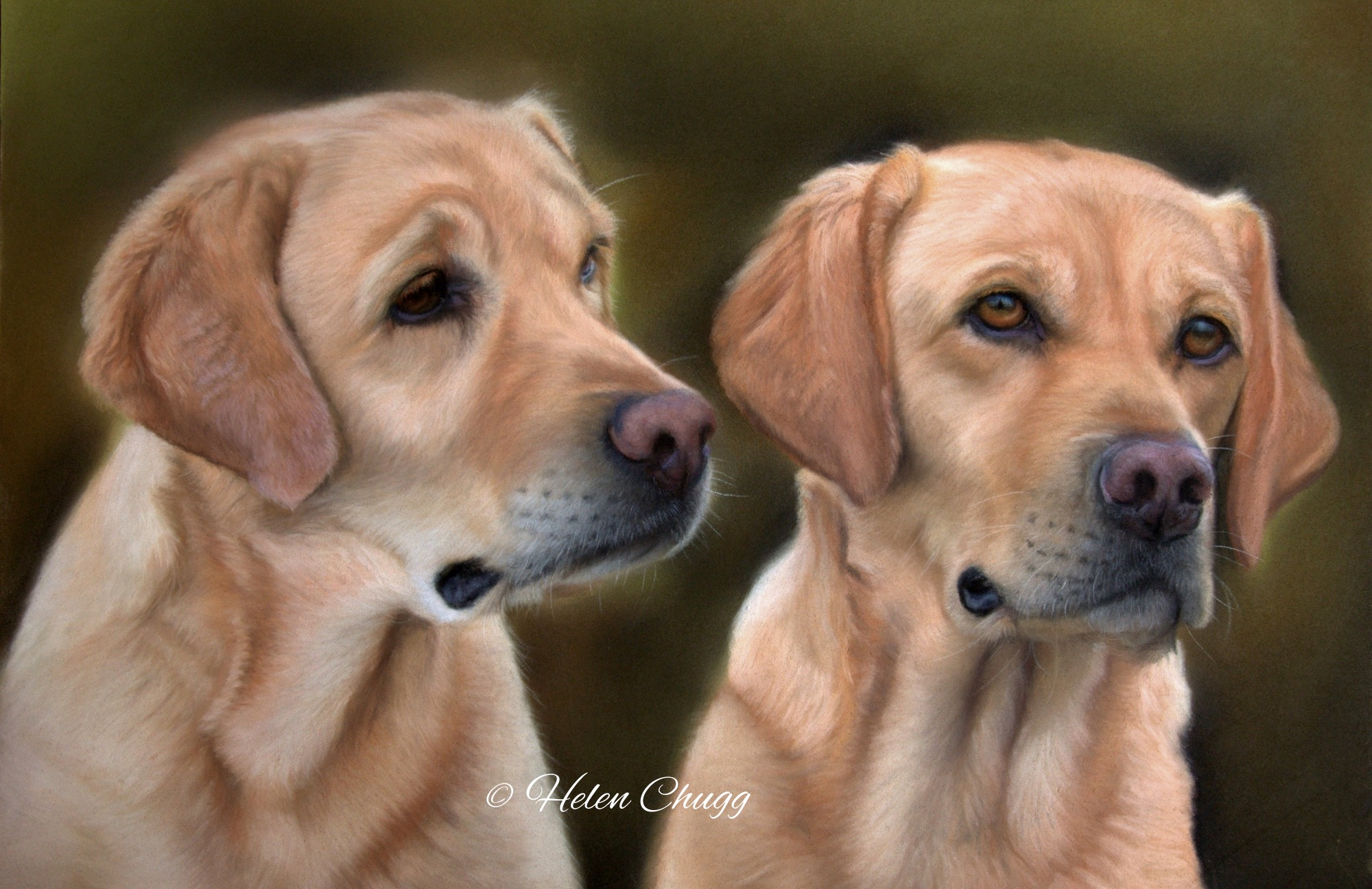 two yellow labradors against a dark background
